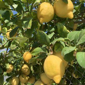 Limón Gourmet Caja 15 kg