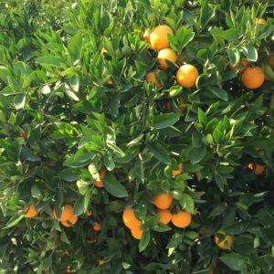 Naranja de zumo Caja 15 kg