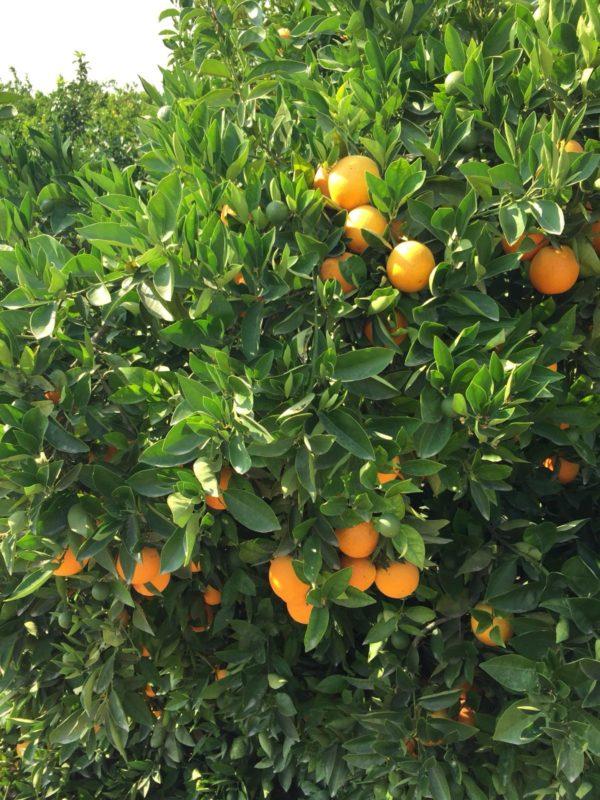Naranja de zumo Caja 15 kg 1